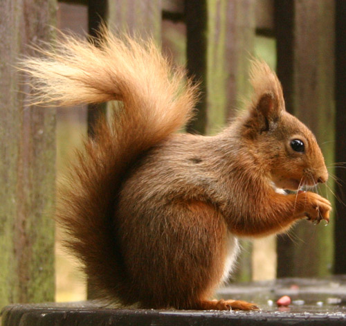 OK, it's a perfectly recognisable picture of a red squirrel